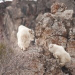 Mountain goats spotted in the Snake River Canyon