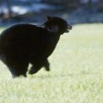 Black-Bear-Running