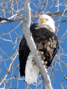Snake River Bald Eagle